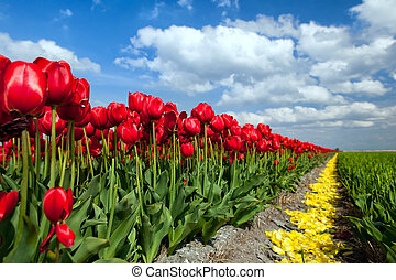 red tulips over blue sky - row of red tulips over blue sky,...
