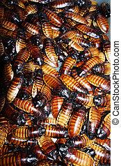 (Gromphadorhina portentosa) - Madagascar hissing...
