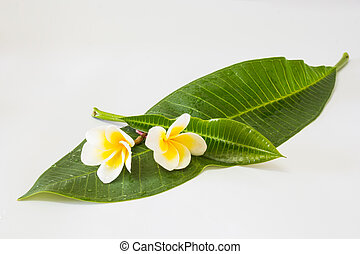 Frangipani and leaf on white background