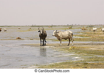African cattle along the shore of the Turkana Lake, Ethiopia...