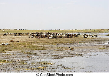 Goats along the shore of the african lake - Goats heard...