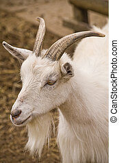 Goat - A head shot of a white goat with a beard