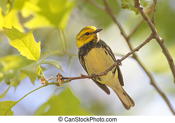 Black-throated Green Warbler (Dendroica virens) in a tree...