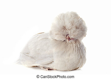 dutch bantam - beautiful dutch bantam on a white background