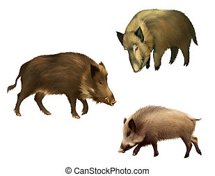 Adult boar Isolated realistic illustration on white...