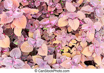 Ornamental plants or Coleus - Texture background of colorful...
