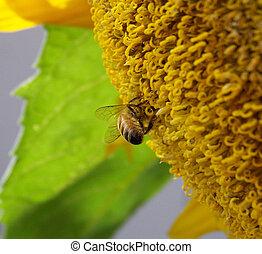 fim, cima, abelha, Polinizando, girassol