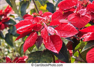 red christmas flower , Red Poinsettias with green leaves;