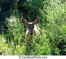 Expressive eyes and large ears of a doe Mule deer peering...