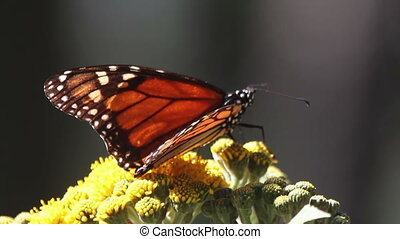 the amazing monarch butterfly sanctuary in mexico, where...