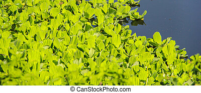 Water Cabbage on the water, Water hyacinth