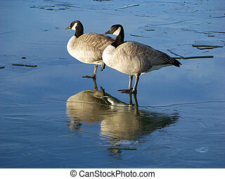 Profile of a pair of Canada geese on frozen lake.