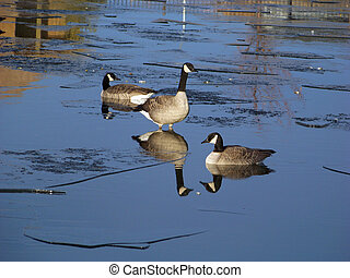 A goose sinks slowly while standing on a piece of ice as his...