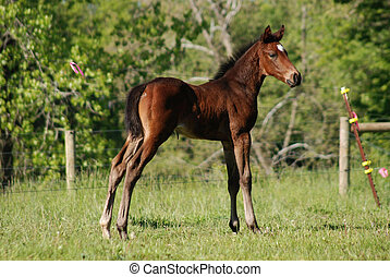 Thoroughbred colt
