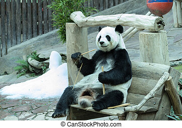 giant panda bear eating bamboo for food Chiang Mai Zoo in...