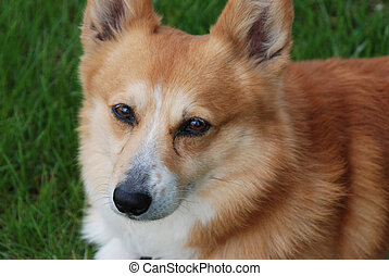 Corgi dog face