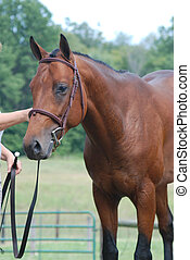 setting up a horse at show