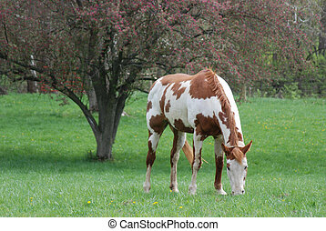Paint mare in springtime