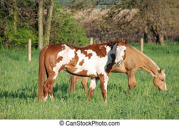 pinto and palomino grazing