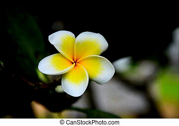 Yellow and white Frangipani flower - Plumeria (common name...