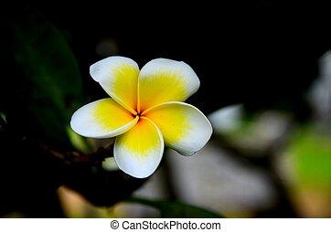Yellow and white Frangipani flower - Plumeria common name...