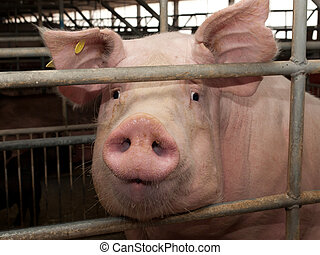 Pig in pigsty - Pic of pig in pigsty