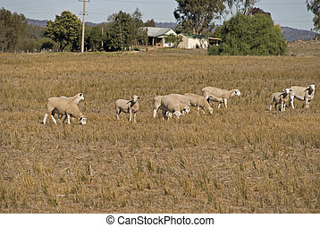 mammal - a small mob of ewes with lamb in paddock