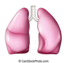 Human lungs, vector