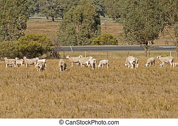 mammal - mob of ewes and lambs grazing in pasture