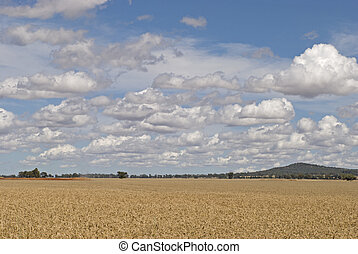 agriculture - a wheat crop being harvested with cloudy sky