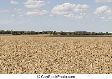 a rippend wheat crop with a cloudy sky - a ripend wheat crop...