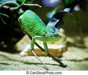 verde, camaleão, sentando, ramo, Terrarium