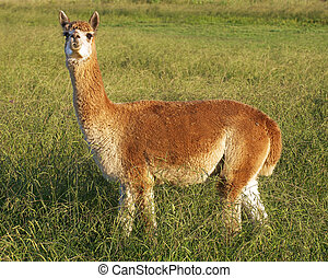alpaca in the field - a single brown alpaca in a field -...