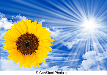 Sun energy - sunflower on blue sky with clouds, sun and sun...