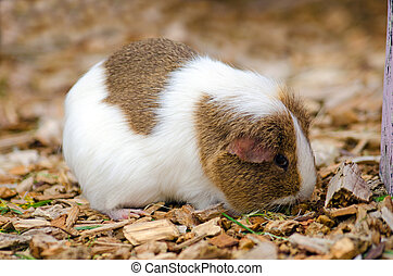 Single Guinea Pig - Single brown and white Guinea Pig