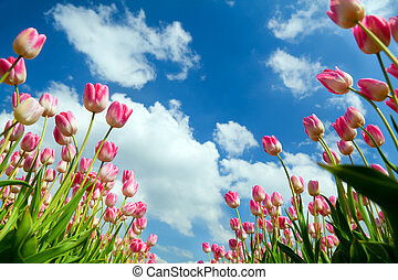 pink tulips over blue sky - many pink tulips over blue sky,...