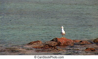 seagull sitting and flying - seagull sitting on a rock and...