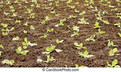 vegetables - fresh vegetables growing o a field