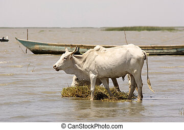 Cattle - African cattle in the Turkana lake, Ethiopia, with...