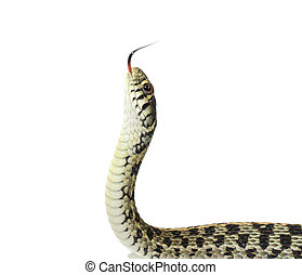 Garter Snake on white background
