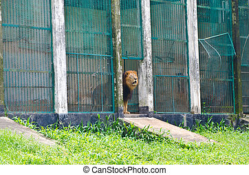 A caged lion - a lion is getting out from his cage in a zoo