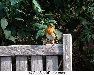 The British Robin Erithacus rubecula, from the family...