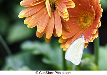 White Butterfly on Red Flowers