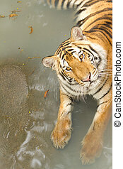 Yellow tiger in the swiming pool