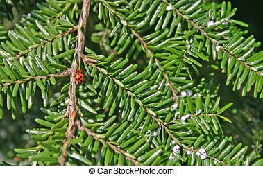 Ladybug and Adelgids on a Hemlock - Ladybug and Adelgids on...