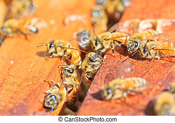 Beekeeping bees
