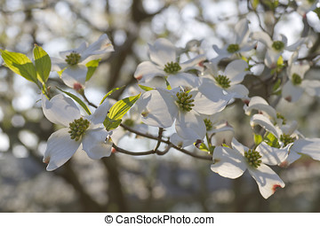 Branch of Blooming Dogwood Flowers