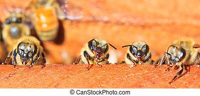 apiculture, abeilles