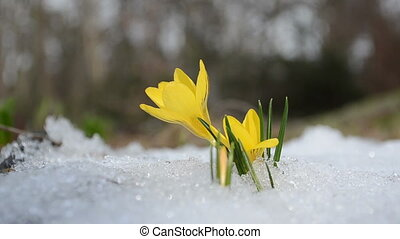 saffron flower snow