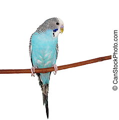 Budgerigar isolated on white, Melopsittacus undulatus,...